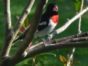 red brested grosbeak