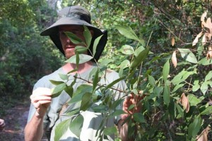 Erick Smith shows a pygmy hickory growing in Sweetwater Preserve