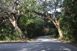 Ancient live oak trees on the road to Fort Clinch
