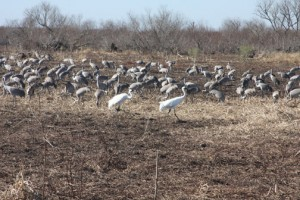 sandhill cranes come to Paynes Prairie in the winter