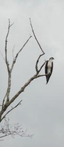DeLeon Springs boat tour - osprey in a tree