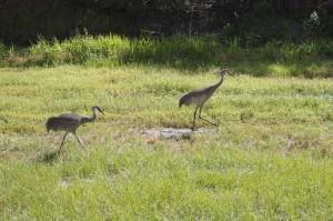 levees - sandhill cranes