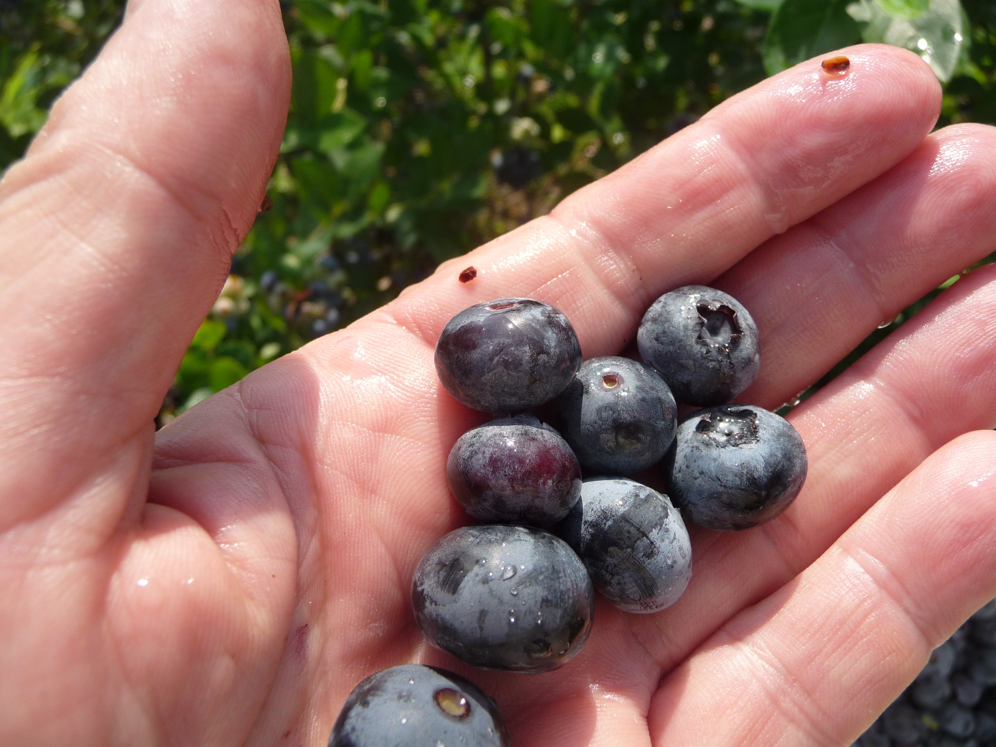 Picking blueberries in June