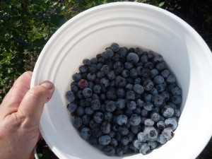 picking blueberries - fill the bucket