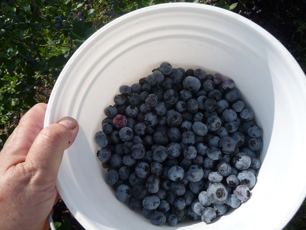 Florida blueberries are a healthy thrill