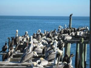 Funky Florida - Cedar Key pelicans