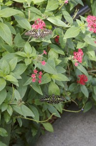 Florida butterfly gardening - red Pentas