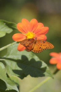 Florida butterfly gardening - mexican sunflower and butterfly