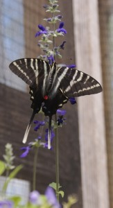 Florida butterfly gardening - giant swallowtail