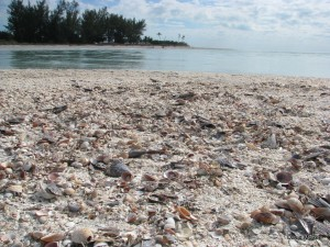 Florida beaches - seashells