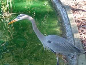 Great blue heron fishing at Sholom Park, Ocala, Florida. Photo by Lucy BeebeTobias