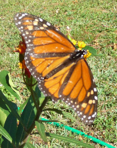 Monarch butterflies - monarch and milkweed