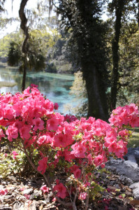 flower - azaleas at Rainbow Springs State Park, Dunnellon