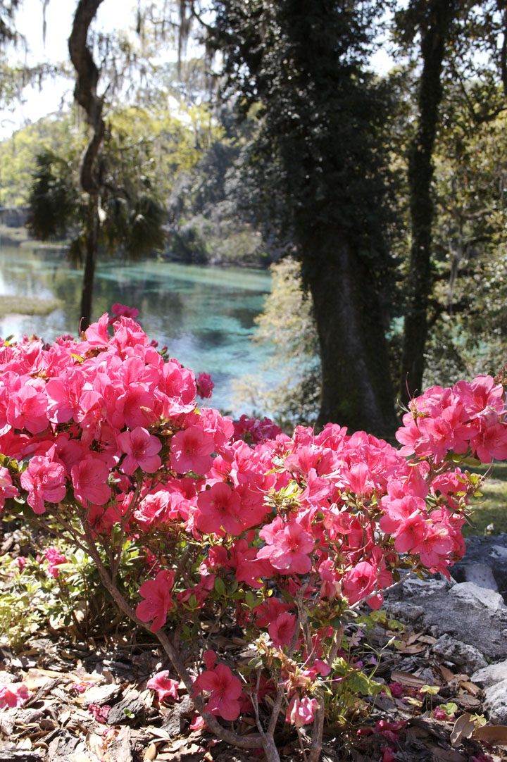 Rainbow Springs State Park has Azaleas