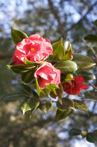 flower - camellias at Maclay Gardens, Tallahassee