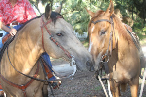 Horseback riding - two horses taking a break at Silver Springs State Park