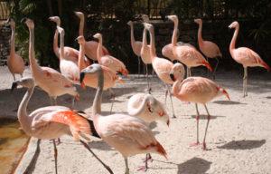 Sunken Gardens flamingos