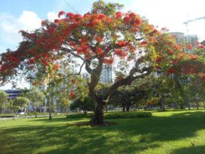 Hollywood, Florida poinciana tree